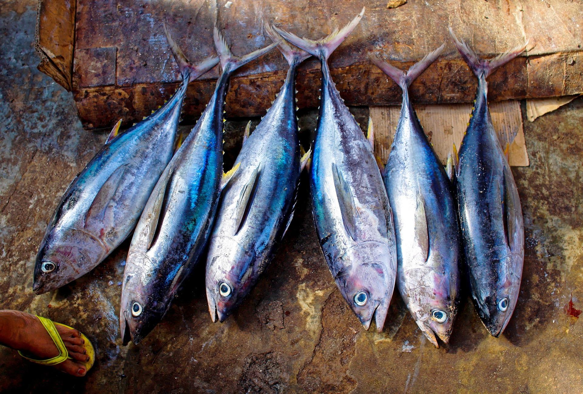 tuna-fish-954073_1920