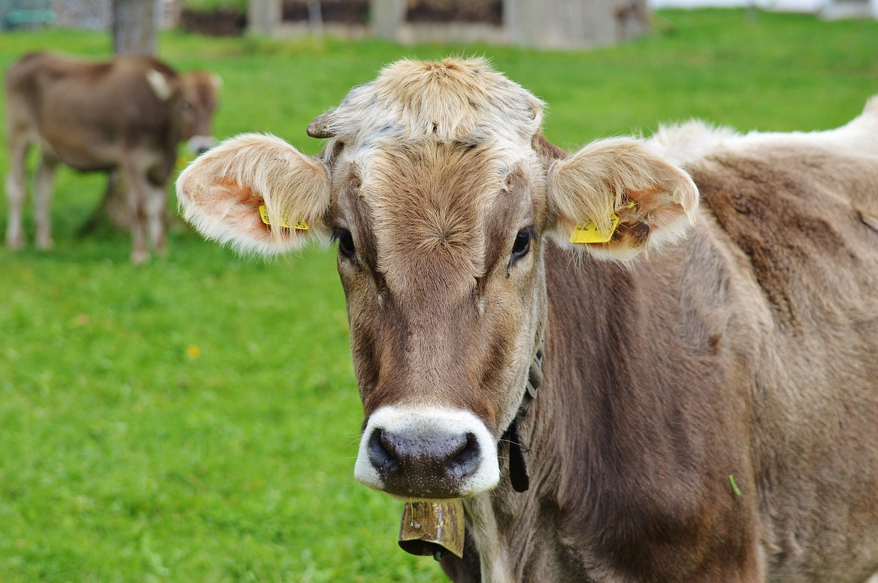 die Kuh lebt Vegan