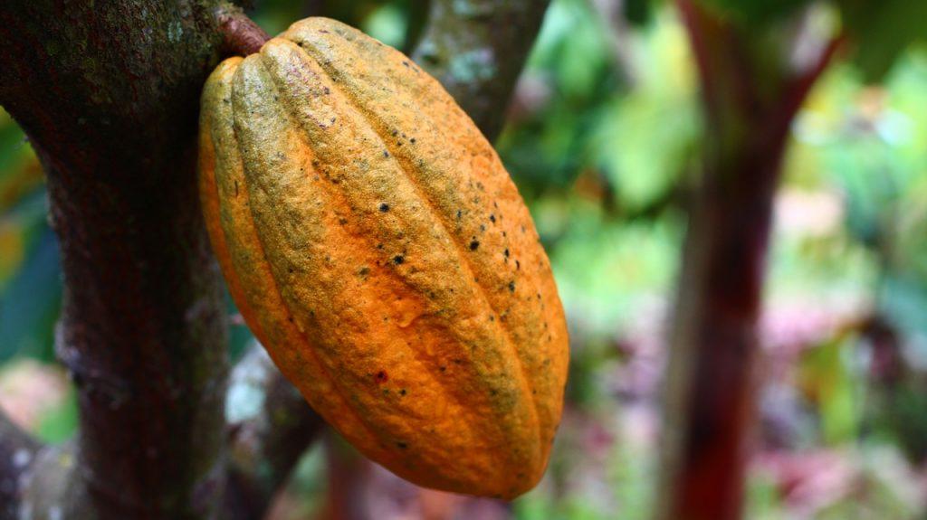 my cocoa trinkschokolade criollobohne am baum